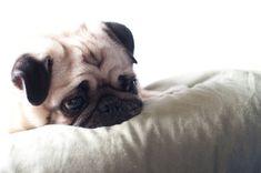 Pug, Reflecting