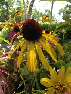 Ozark Coneflower, Echinacea paradoxa; a great summer blooming wildflower works brilliantly in a bouquet!!! #wildflowers #tamingwilldflowers #cuttinggarden #wildflowerfarm #slowflowers