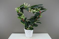 Madagascar Jasmine Heart - Decorative Planter - Traditional Bridal bouquet flower - Snowy star flowers- Bridal Wreath - Ideal venue decoration - Stephanotis