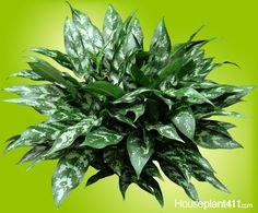 Chinese Evergreen, Aglaonema, how to grow plant care guide. Learn how much light, water, and fertilizer a Chinese Evergreen plant needs. Find answers to Chinese Evergreen care questions. Best Office Plants, Easy Care Houseplants, Chinese Evergreen Plant, Evergreen Flowers, Snake Plant Care, Christmas Plants, Indoor Flowering Plants, Plant Guide, Poisonous Plants