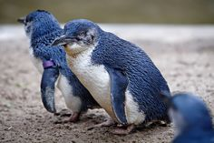 LITTLE BLUE (FAIRY) PENGUIN (Eudyptula minor) - the smallest species of penguin. They leave land at dawn under cover of darkness, spend the day at sea foraging in small groups, and return to land at dusk. Average 12-13 inches, 1 lb. The beta-keratin in their feathers is aligned into parallel fibers, like a row of hairs. The alignment and size of the fibers scatters the light and reflects the blue pigment range. Found in New Zealand and Australia.