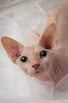 Ramses - Hairless Cat - Ideas of Hairless Cat - Ramses The post Ramses appeared first on Cat Gig. Animals And Pets, Baby Animals, Cute Animals, Beautiful Cats, Animals Beautiful, Cute Hairless Cat, Sphinx Cat, Cat Breeds, Belle Photo