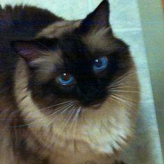 Birman cat ... looks like a long hair version of my Siamese applehead Manny !!!