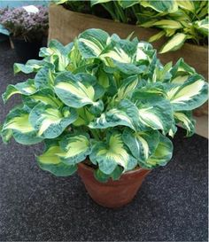 Hosta 'Golden Meadows' Hosta always look nice in containers. New hosta for my gardening wishlist!