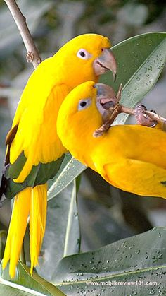 Golden Conures. Aka Queen of Bavaria conures. So beautiful & sweet.