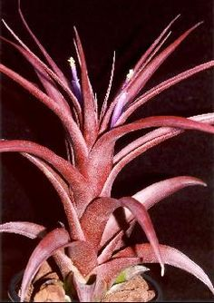 30edf5645e9b6614e7ff1892427bf587 Ze Bromeliad House Plant on begonia plant, paradise blooms bromeliad plant, pink bromeliad plant, party time alternanthera plant, bromeliad pineapple plant, indoor living wall plant, bromeliad flower, silver vase bromeliad plant, tropical rainforest bromeliad plant, emerald queen bromeliad plant, blushing bromeliad plant, bromeliad tillandsia, red artificial bromeliad plant, bromeliad plants with striped leaves, bromeliad plant care, bromeliad plant clearance sale, info on bromeliad plant, outdoor artificial bromeliad plant, the bromeliad plant, neoregelia bromeliad plant,