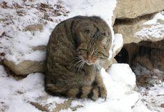 Gato montés euroasiático o gato salvaje. Big Cat Family, Carnivore, Lynx, Big Cats, Puppy Love, Woodland, Kitten, Puppies, Animals
