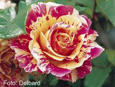 Claude Monet -  Delbard