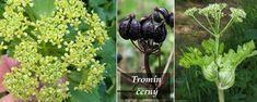 Byliny - Bylinky pro všechny Alexander The Great, Fruit, Plants, Plant, Planets