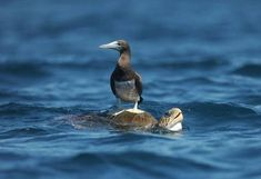 A brown booby (Sula leucogaster) perches on an Olive Ridley Sea Turtle (Lepidochelys olivacae) near Los Cobanos beach, 84 Km west from San Salvador, on February (Jose CABEZAS/AFP/Getty Images) San Salvador, Beluga Wal, Olive Ridley, Turtle Love, Turtle Beach, Survival, Image Of The Day, Tortoises, Nature Animals