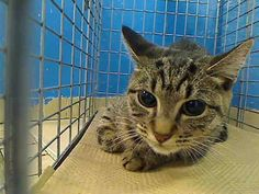 Manhattan Center     My name is PRINCESS. My Animal ID # is A0964881.   I am a female gray tiger amer sh mix. The shelter thinks I am about 1 YEAR     I came in the shelter as a OWNER SUR on 05/10/2013 from NY 11212, owner surrender reason stated was NO TIME. For more info go to NYC Urgent Cats on Facebook.com