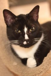 Herbert is an adoptable Tuxedo Cat in New York, NY. What a cat...dog...horse...
