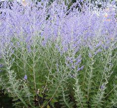 Perovskia Atriplicifolia / Russian Sage |
