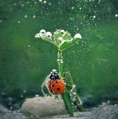 diving ladybug