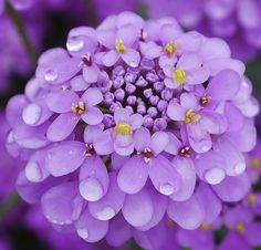 Candytuft (Iberis)