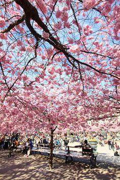 #Kungstradgarden #stockholm #cherrytrees #cherryblossom
