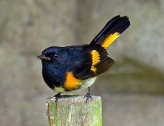 ハゴロモムシクイ (羽衣虫喰) American redstart (Setophaga ruticilla) male