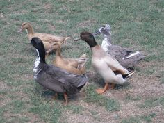 INTRODUCTION TO KEEPING DUCKS - BackYard Chickens Community