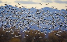 A Mass Of Snow Geese Head North Out Of Bosque del Apache
