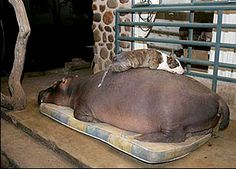 Jessica the domesticated hippo - loves her bull terriers - you have to see this story!