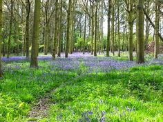 Top 5 places to find Bluebells in Epping Forest including Chingford, Wanstead, Loughton and Upshire Epping Forest, Owl, Website, Places, Owls, Lugares