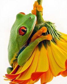 Tree frog on yellow