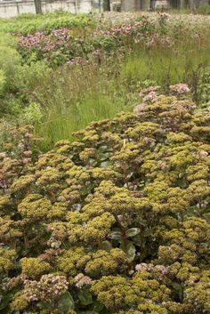 Leuvehaven Garden, Rotterdam. Piet Oudolf planting of sedums, grasses, echinacea