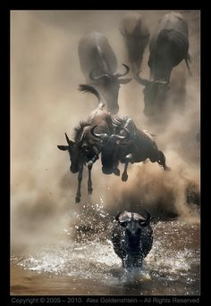 Bеликое шоу природы - миграция антилоп Гну (repost)