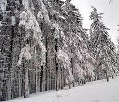snowed down trees #MyRadleyChristmas