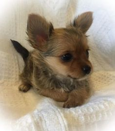 85 Best Chorkies Images Yorkie Chihuahua Mix Cute Baby Dogs Cute