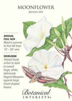 $2.39 Moonflower. Twisted buds unfurl at dusk to reveal huge, white, deliciously fragrant blossoms against heart-shaped leaves. HEIRLOOM.