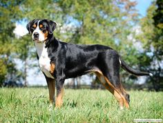 gorgeous Greater Swiss Mountain dog
