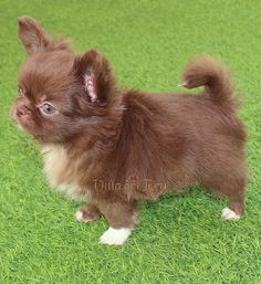 Chocolate Long Haired Chihuahua | Stunning chocolate long coat | Luxury chihuahua Long Haired Chihuahua Puppies, Long Coat Chihuahua, Chihuahua Breeds, Chihuahua Love, Baby Puppies, Cute Puppies, Cute Dogs, Love My Dog, Chihuahua Dogs