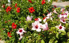 Image detail for -... .com/photography/photo/13/white-and-red-hibiscus-dsc01865.jpg