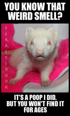 #ferrets #cute #animals #ferret #funny #for kids #forever #awesome #home #love #carpetshark #catsnake #weasel  https://www.facebook.com/YourEverydayFerretFerretsDook