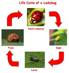 Studying with Elke - Life Science: Plant and Animal Life Cycles Reading is Fundamental in Science and Mathematics - The Vocabularies of both Science and Mathematics are sophisticated. Science Lessons, Science For Kids, Science Activities, Spring Activities, Insect Activities, Sequencing Activities, Life Science, Art Lessons, Lady Bug
