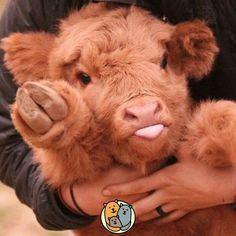 Baby calf sticks his tongue