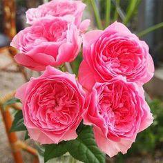 """本日の薔薇""""  ^^  こはる[Koharu] 日本 Rose Farm keiji 作 2014年   暖かな春のころを感じさせる愛らしいピンク。花びらを洒落に尖らせて、アンティーク調のすてきな花を咲かせます。花は8~9cmの大輪咲き、四季咲きで、1輪眺めるだけでため息が出るほど美しく印象的。花持ちに優れ、1花で2~3週間楽しめるのも魅力の1つです。香りは爽やかなティ香。 樹性は木立性=ハイブリッドティタイプで、平均的なお手入れで元気に育ちます。   花径:8~9cm 樹高:1.0~1.2m 花季:四季咲き その他:香⇒ほのかな香り  ※京阪園芸ガーデナーズのF&Gロ-ズのバラはこちらから→ http://www.keihan-engei-gardeners.com/fs/keihangn/c/f-grose"""