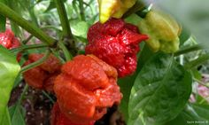 Trinidad Scorpion Moruga Caramel  This strain is a natural color variation of the original Trinidad Scorpion Moruga Red. Pods ripen from limegreen to an Caramel color with shades of red. This variety is extremely hot with a fruity floral taste. Plants grow big and has an excellent yield.
