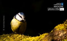 Blue Tit, by Kurien Koshy Yohannan - Springtime is usually associated with green grass, new foliage and blossoming flowers but the other distinct sign that everything is coming to life is the sweet song of birds.