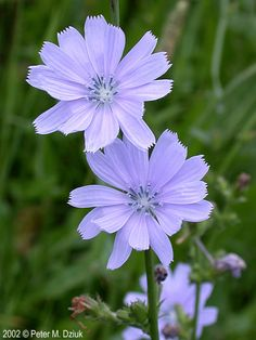 A closeup of chicory.I adores this pale indigo flower, but its color quickly fades to white when it's picked, so best to enjoy it in the wild. Flower Border, Flower Garden, Indigo Flower, Blue And Purple Flowers, Plants, Flower Images, Flowers, Chicory, Purple Wildflowers