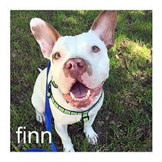 Dallas, TX - American Pit Bull Terrier/American Bulldog Mix. Meet Finn, a dog for adoption. http://www.adoptapet.com/pet/14934722-dallas-texas-american-pit-bull-terrier-mix