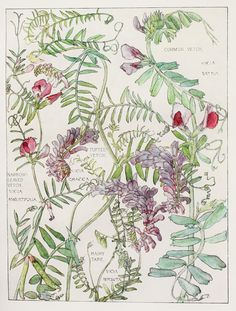 1910 Botanical Print by H. Isabel Adams: Pea Family, Vetch (Common, Narrow-Leaved & Tufted), Hairy Tare