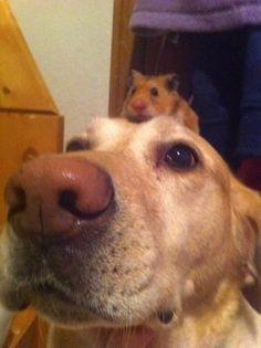 hamster riding dog
