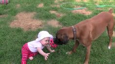 Boxer Plays Tug-of-War With His Baby. Watch How GENTLE He Is With The Baby.