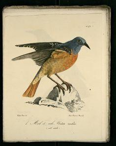 Dessins-gravures d'oiseaux de Provence