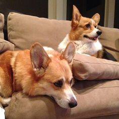The Corgis are ready for the Super Bowl!!!!