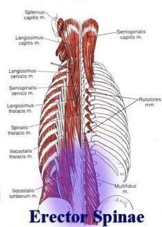 Upper Anterior Leg View Sartorius Tfl Tensor Fasciae