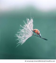 Ladybug Riding a Flower – perfectly timed – It seems the lady bug has found a faster way to get around. | Perfectly Timed Pics