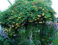 tree-form trumpet vine